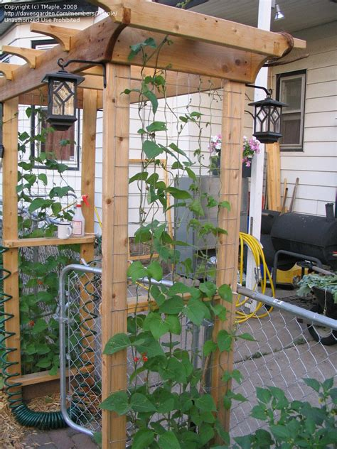Runner Bean Trellis beginner gardening scarlet runner bean trellis 1 by tmaple