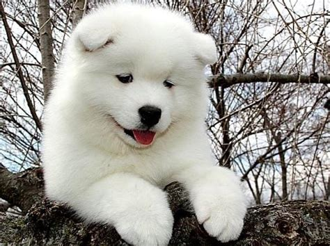 samoyed for sale samoyed puppies for sale with price details and pictures