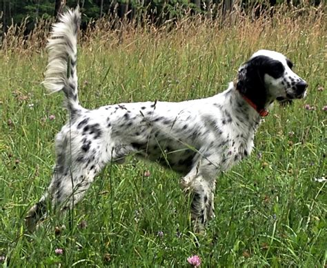 started dogs waymaker setters english setters fdsb waymaker english setters