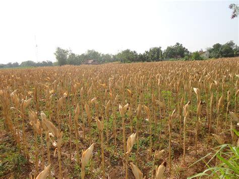 Harga Jagung Pakan Ternak Per Kg ini penyebab harga jagung merangkak naik okezone economy