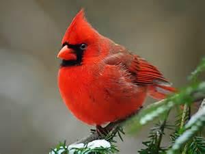 the life of sweet birds cardinal red birds