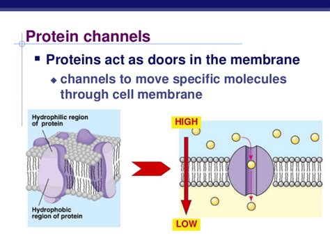 protein channel channel proteins and carrier proteins images