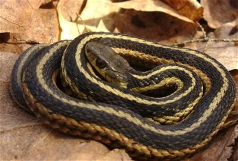 Garden Snake Ny Reptiles Animals Of Northern New York