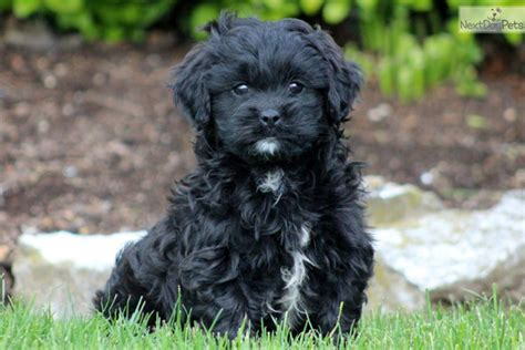 shih tzu poo pictures shih poo shihpoo puppies for sale from reputable breeders