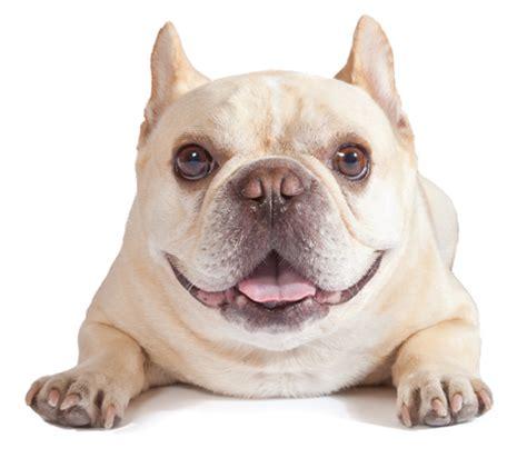 bulldog pomeranian mix pomeranian bulldog mix