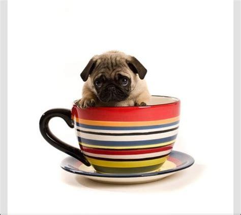 pug cup pug n cup tea cup pups