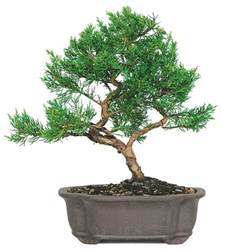 Lanterns For Home Decor Shimpaku Juniper Bonsai Care Bonsaioutlet Com