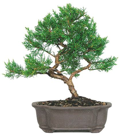here s a thought bonsai random bonsai thoughts for all bonsai outlet