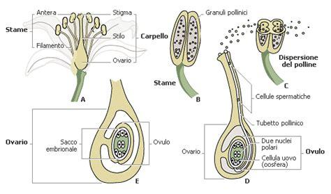 fiore angiosperme anatomia delle piante angiosperme