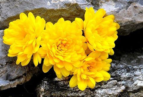 fiori crisantemi coltivare crisantemi 4 consigli pollicegreen