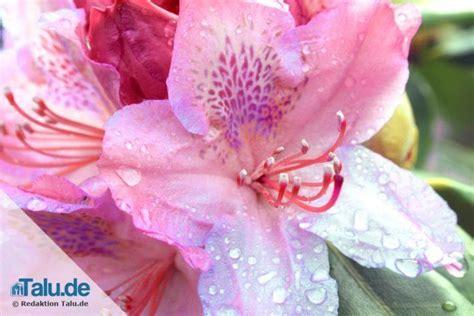 Rhododendron Vermehren by Rhododendron Vermehren Durch Ableger Und Stecklinge Talu De