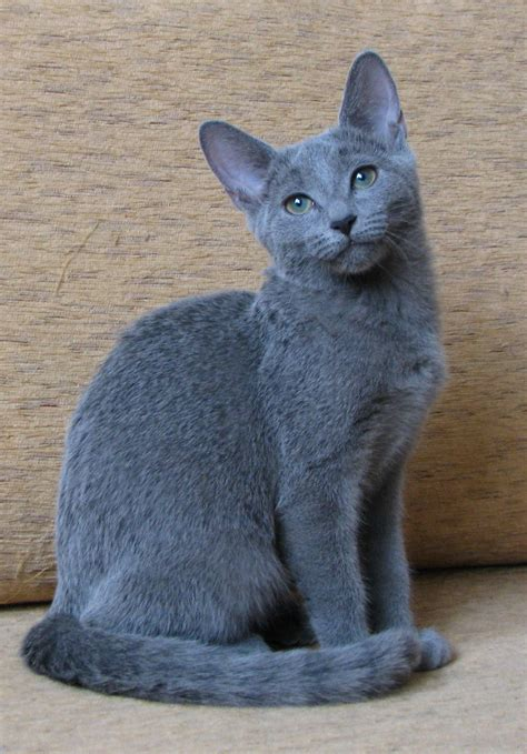 blue cat russian blue here