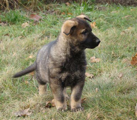 pictures of german shepherd puppies at 8 weeks german shepherd puppies jax z jirkova dvora