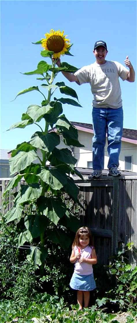 tallest sunflowers in the world buy tall sunflower seeds