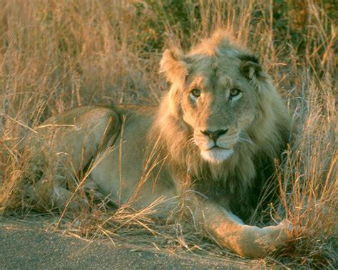 imagenes full hd de leones algunos animales e insectos para tu pantalla taringa
