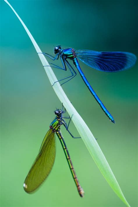 green dragonfly l blue green dragonfly pixshark com images galleries