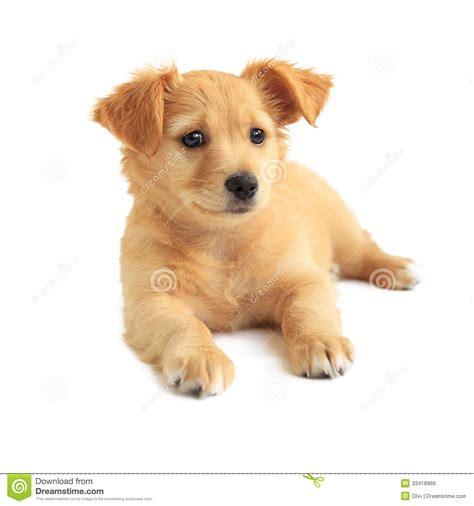 golden retriever puppies mixed breeds golden retriever mixed breed puppy royalty free stock image image 33418966