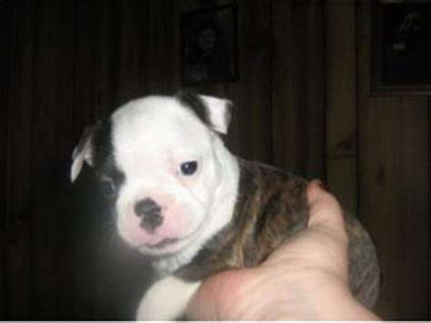 boston terrier puppies for sale in wv boston terrier puppies for sale
