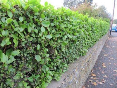 noise blocking plants tips for using shrubs and trees as a noise barrier