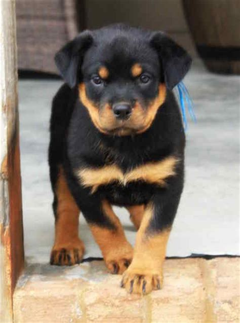 rottweiler puppies south carolina view ad rottweiler puppy for sale south carolina fair play