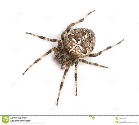 What Is A Uk Garden Spiders Habitat Top View Of An European Garden Spider Stock Image Image
