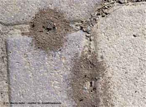 Ameisen Auf Der Terrasse 4711 by Rasenameisen Bek 228 Mpfen