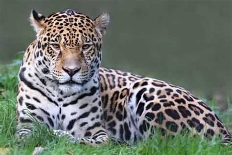 united states second jaguar appears in arizona