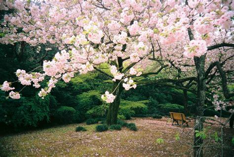 wallpaper taman bunga ros background pemandangan taman bunga sakura 8 background