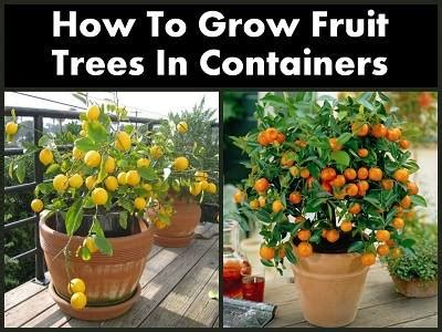 fruit tree growing how to grow fruit trees in containers diy cozy home