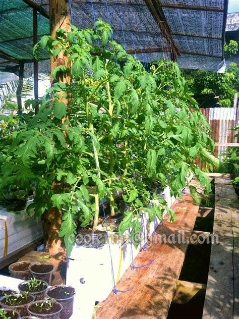 Pupuk Untuk Bunga Tomat hidroponik cara menanam tomat hidroponik