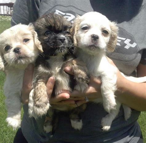 free puppies ct dogs connecticut free classified ads