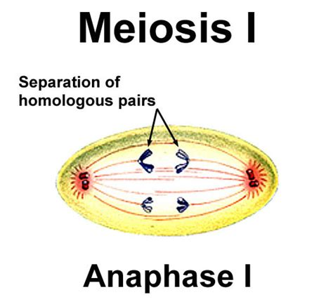 diagram of anaphase related keywords suggestions for meiosis 1 anaphase 1