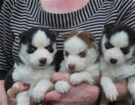 siberian husky puppies for sale in nh dogs new hshire free classified ads