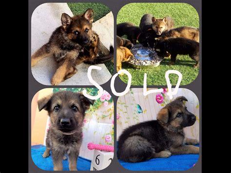 k9 german shepherd puppies for sale german shepherd puppies for sale 100 german showline german breeds picture