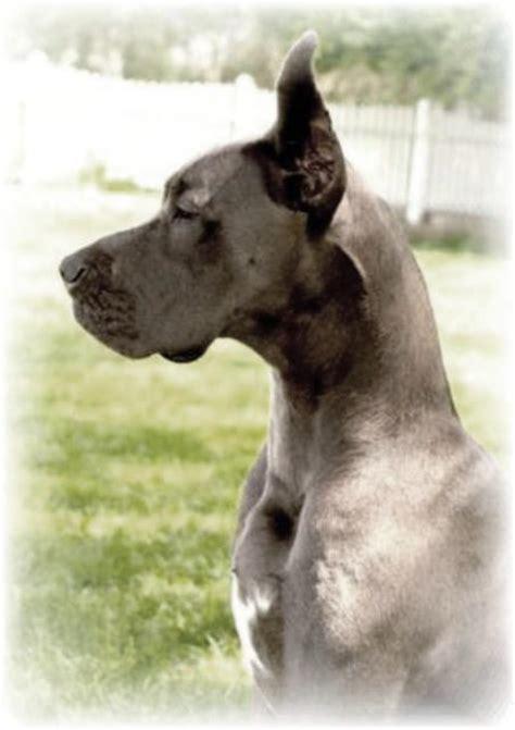 great dane puppies kentucky breeder akc blue great dane puppies for sale kentucky