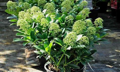 Shrubs For Planters by Skimmia Japonica Thereza Pack Of Three Evergreen Plants