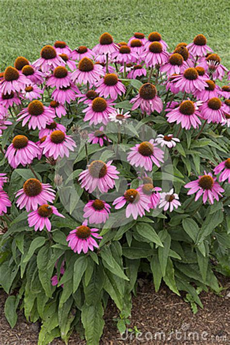 Gordyn Berry Pink echinacea powwow berry stock photo image 58318349