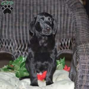 black lab puppies ohio black labrador retriever puppies for sale greenfield puppies