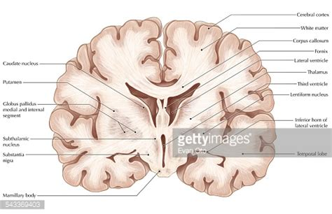 frontal section of brain brain coronal section stock illustration getty images
