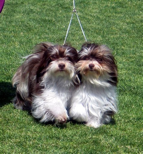 havanese silk silk dogs havanese what is a show brace