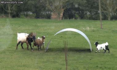 goats  fun  flexible metal sheet hilariousgifscom