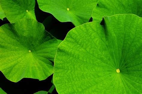 free photo leaf lotus lotus leaf free image on