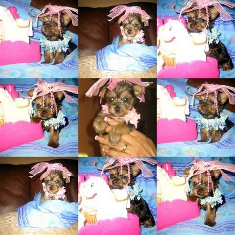 yorkie puppies for sale in broward county tiny yorkies for sale adoption from ft lauderdale florida broward adpost