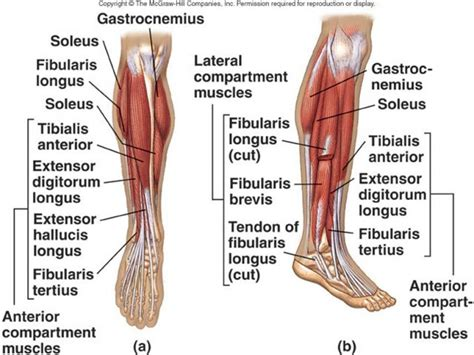 muscles of diagram diagram legs human anatomy system