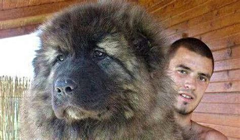 caucasian mountain temperament the caucasian shepherd originally from russia weighs between 100 and 120 lbs and