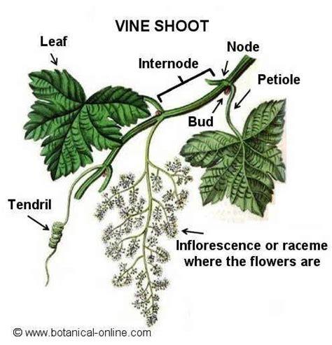 Magnificent Grape Vine Anatomy Model - Internal organs diagram ...