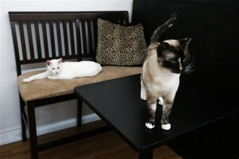 get your meow on at edmonds cat cafe heraldnet