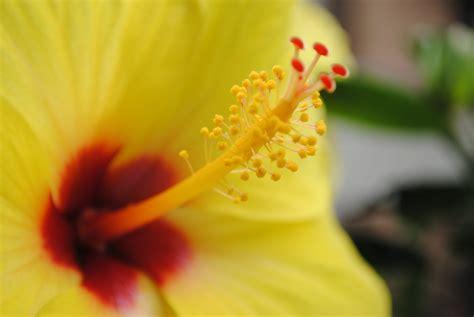 fiori hawaii matrioskla hibiscus fiore delle hawaii