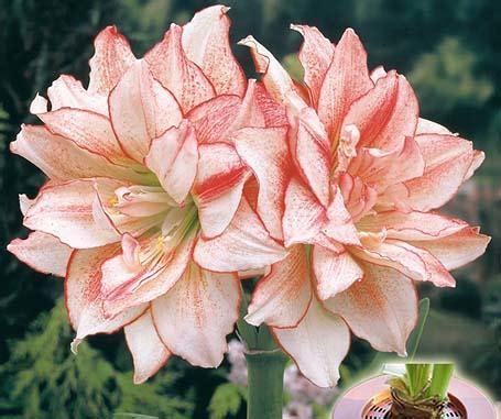 Garten Amaryllis Pflegen Pflanzen by Amaryllis Pflanzen Und Pflegen Mein Sch 246 Ner Garten