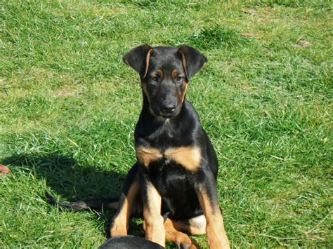 doberman shepherd puppies for sale doberman shepherd puppies maidstone kent pets4homes